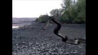 Titanoboa Prehistoric Snake Sightings near River