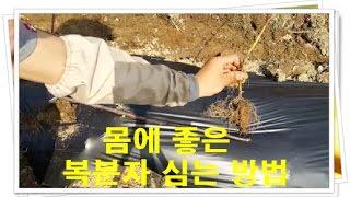 복분자 묘목 심기  복분자 심는 방법