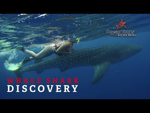 Swim With Whale Sharks In Cancun - Ocean Tours Mexico