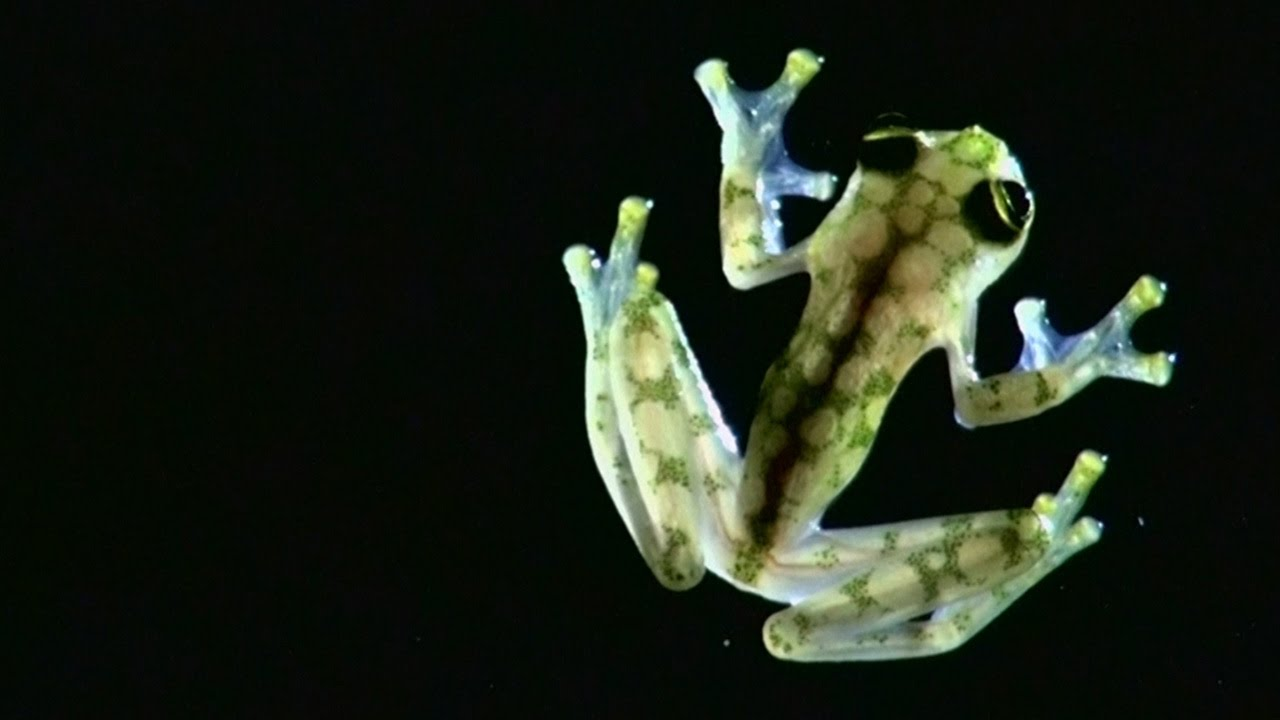 New SeeThrough Glass Frog Discovered In Costa Rica YouTube - Real life kermit the frog discovered in costa rica