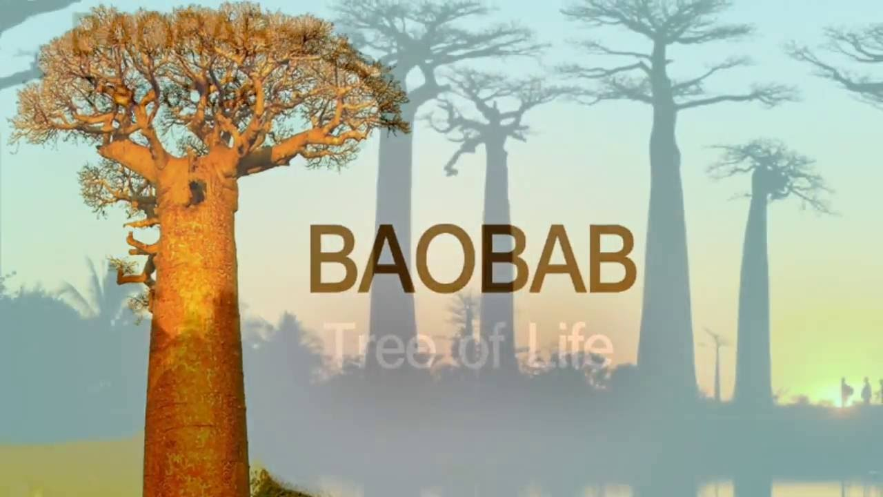 Baobab - Tree Of Life l Biggest Water Storage Tree l One of Top Ten Tree in the World & Baobab - Tree Of Life l Biggest Water Storage Tree l One of Top Ten ...