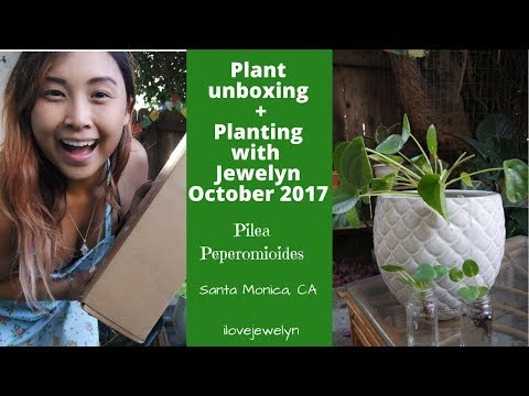 Plant Unboxing + Planting with Jewelyn | Pilea Peperomiodes