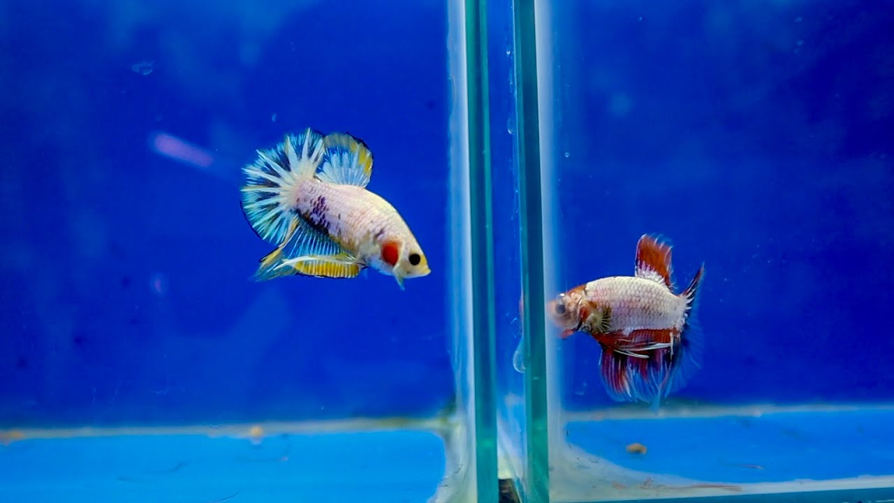 BETTA FISH SHOPPING - I Bought a Betta for my Aquarium!