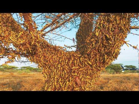 INFESTED Locusts migrate between Somalia and Saudi Arabia. New Locust Invasion / Natural Disasters