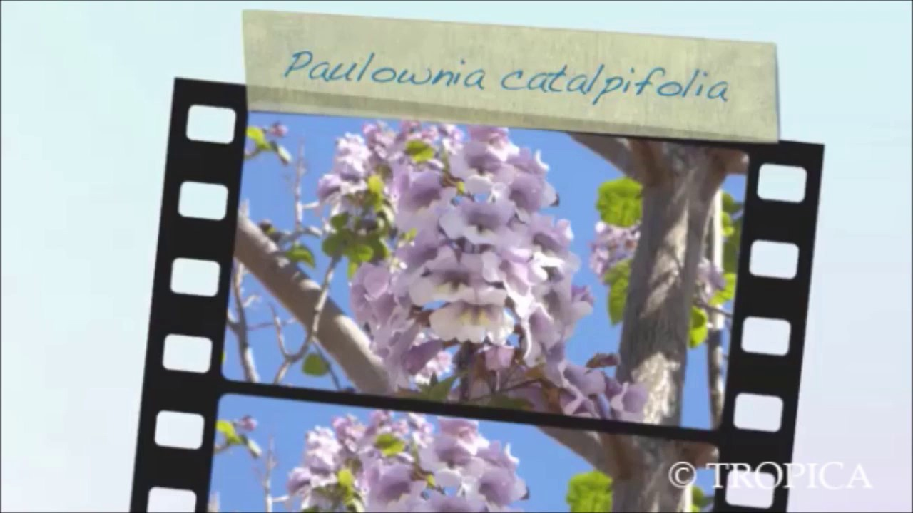 """farbenprächtiger Baum ! ein wunderschöner /"""" der Chinesische Blauglockenbaum"""