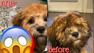 Our Shih poo FIRST EVER GROOMING ❤