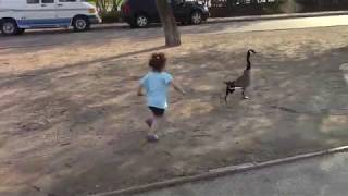 Geese Chasing
