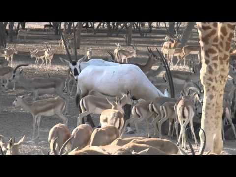 Safari, Sir Bani Yas Island, Anantara Desert Islands Resort, Abu Dhabi