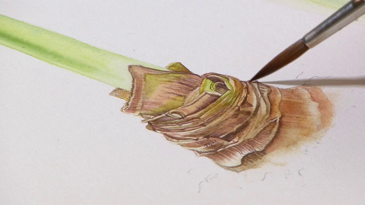 How to paint a amaryllis bud preview billy showell how to paint a amaryllis bud preview billy showell watercolour beautiful dhlflorist Image collections