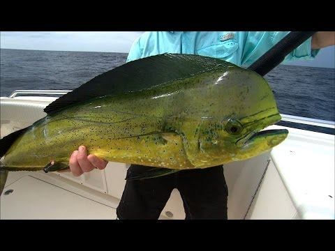 Offshore Fishing Dorado Mahi Mahi and Yellowfin Tuna off Ven
