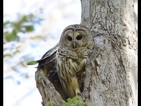 Barred Owls Harassed By Crows - Montreal, Qc