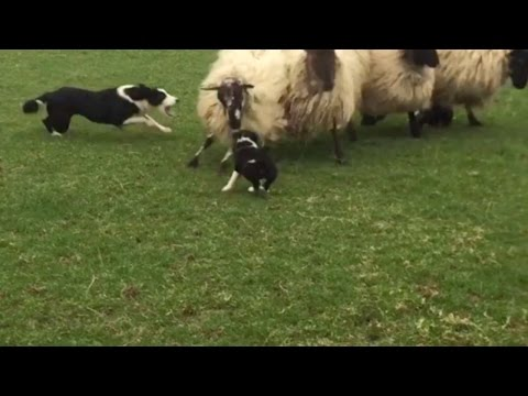Brave Sheep Dogs First Day On Job