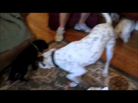 Pit / Lab mix aggressively attacks elderly Westie Dog Whisperer Greenville Charleston training