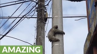Sloth rescued from telephone pole in Costa Rica
