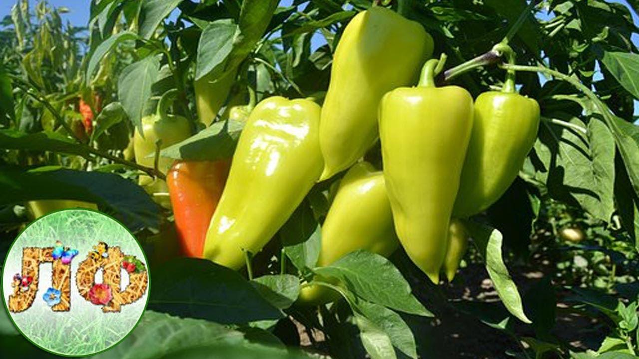 Чем подкормить перцы во время плодоношения