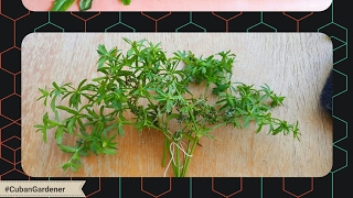 HOW TO HARVEST CILANTRO I CULANTRO SEEDS FROM FLOWERS