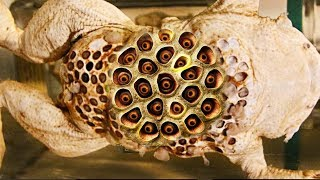 Best Trypophobia Triggers 2017 (Animals)!  Surinam Toads, Clusters & Holes