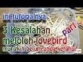 3 KESALAHAN DALAM MELOLOH LOVEBIRD MUNGKIN ANDA BELUM TAHU || LOVEBIRD farm