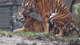 Repeat youtube video Tigre Cruzando
