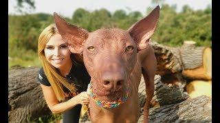 THE PERUVIAN HAIRLESS DOG  STRANGE OR CUTE?