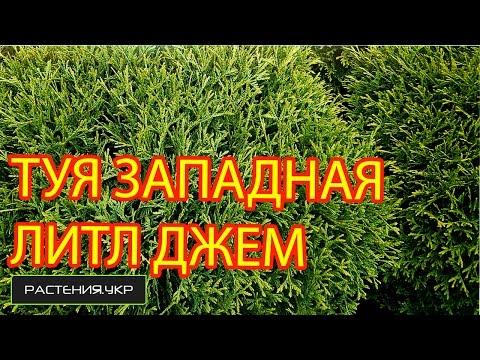 Фото туи Фотографии туй thujakievua
