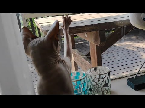 Sphynx cat Chikita trying to catch a fly / DonSphynx /