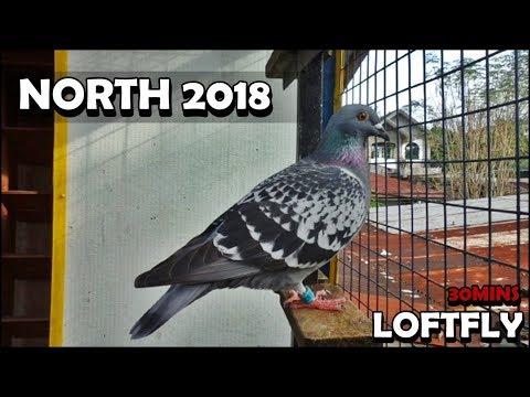 NORTH 2018 30MINS LOFTFLY RACING PIGEON - YouTube