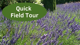 Growing Lavender - Laughter in the Field