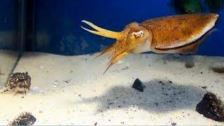 Cuttlefish vs Crab