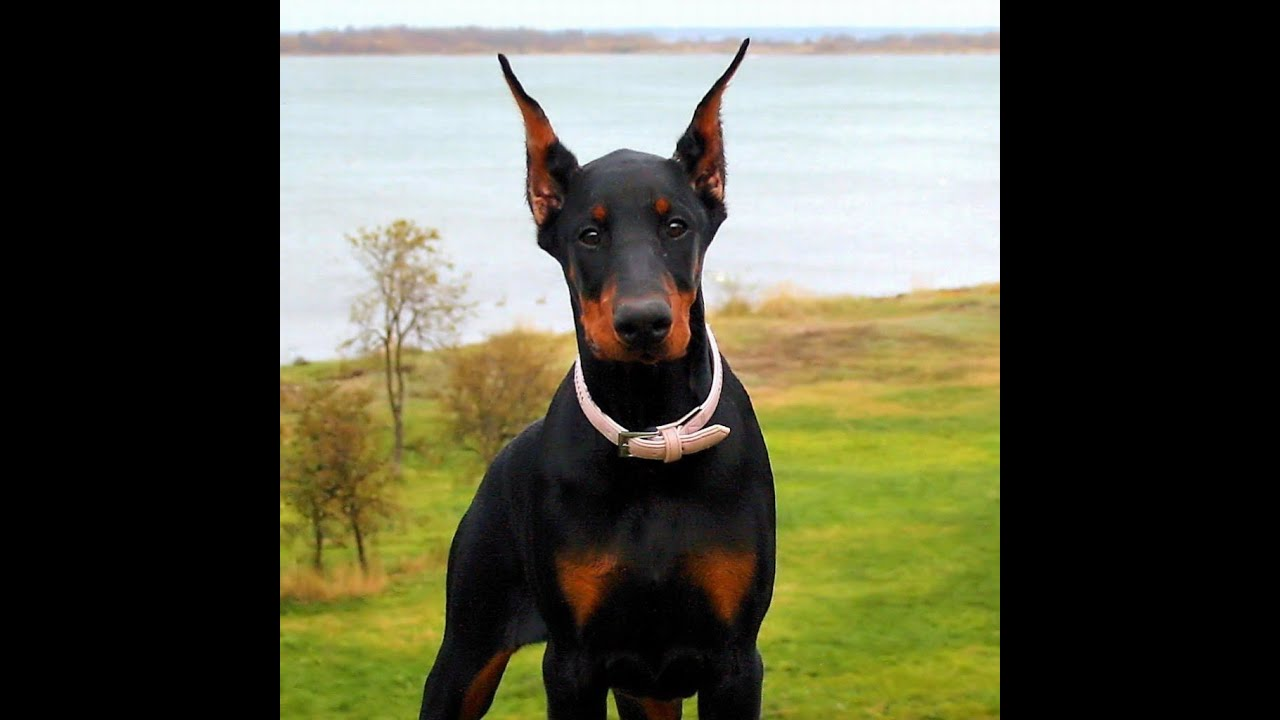 dobermanpinscher