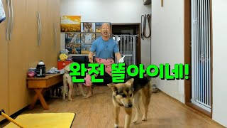 주인이 노래부르자, 진돗개 금자가 보인행동! #빠박이동…