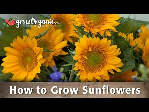how-to-grow-organic-sunflowers
