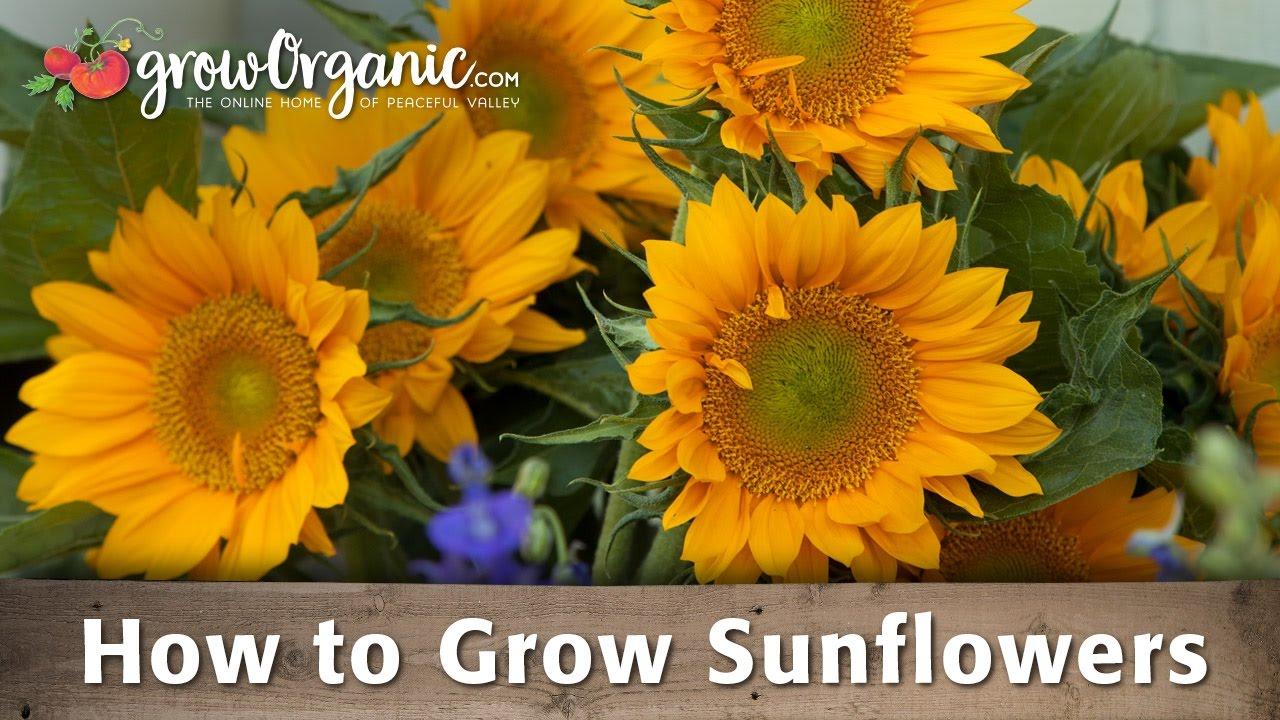 How To Grow Organic Sunflowers Groworganic Peaceful Valley