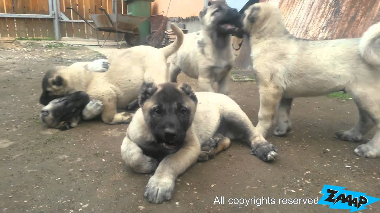 kangal puppies kangal puppy fight youtube. Black Bedroom Furniture Sets. Home Design Ideas