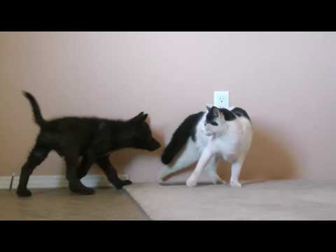 cat-vs.-wolf-(cat-meets-a-wolf-pup)