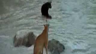 ataque de animais