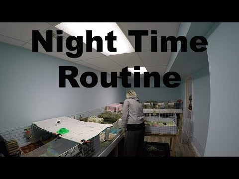 Pet Room Nightly Routine: 10 Guinea Pigs & 1 Rabbit