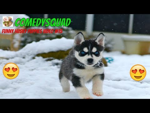 Funny Husky Puppies Video #15-Funniest & Cutest Puppies Compilation