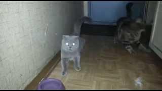 Кошак об дверь бошкой напоролся! Кошки спариваются.