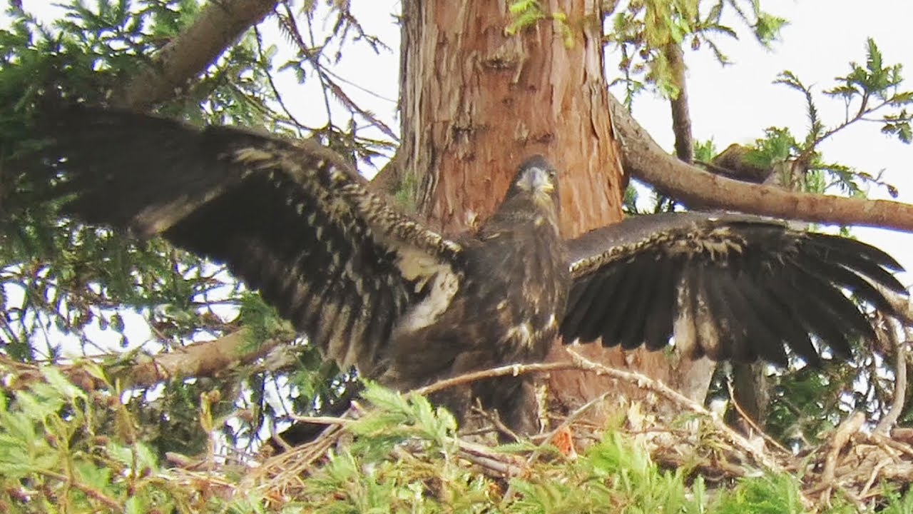 Fly baby fly! The baby eagles are fledging. - Barker-Ewing ...