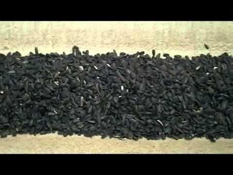 Как делают козинаки из семечек на заводе видео