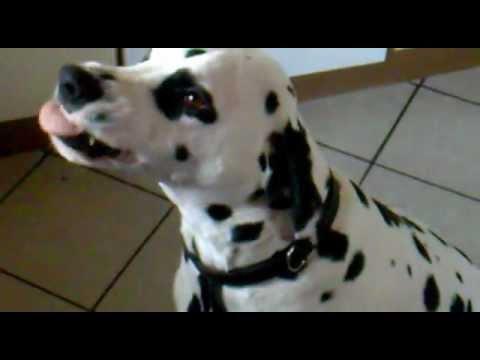grinse jolly lachender hund dalmatiner youtube. Black Bedroom Furniture Sets. Home Design Ideas