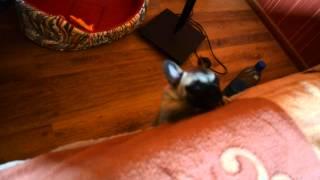 видео Щенок кроличьей таксы бесится и лает