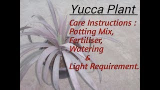 Yucca Plant Care || Detailed Information about YUCCA plant.