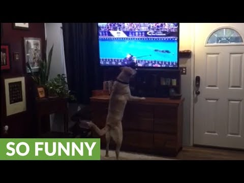 Labrador intently watches dock diving dog on TV