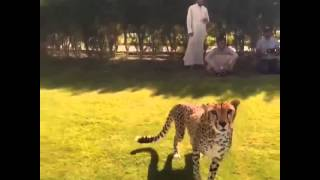 Leopard attacks Drone - Big Cats