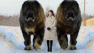 """【衝撃】世界の最も""""獰猛となり得る""""犬種10選 世界中には極めて獰猛な犬..."""