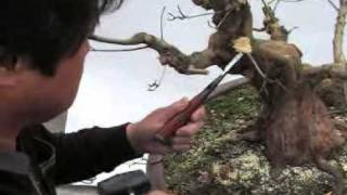 Secret de bonsai azalee satsuki.avi