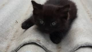 Котенок черный, девочка, Красноярск от 30.05.2017г.