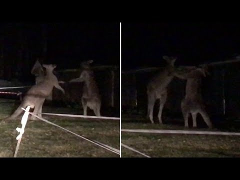 Four giant kangaroos battle it out in nsw central coast suburb